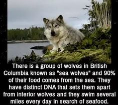 There is a group of wolves in British Columbia known as sea wolves and of their food comes from the sea. They have distinct DNA that sets them apart from interior wolves and they swim several miles every day in search of seafood. Wolves Of Wall Street, Wolf Hybrid, Interesting Animals, Unbelievable Facts, A Silent Voice, Wtf Fun Facts, Random Facts, British Columbia, Cute Funny Animals
