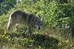 Parc Animalier de Sainte-Croix - Grey wolf by Moselle Tourisme, via Flickr - #Moselle #Lorraine #France More to discover on http://www.moselle-tourism.com/en/what-i-want/leisure-parks.html