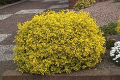 The importance of evergreen shrubs in your mixed border Small Evergreen Shrubs, Evergreen Bush, Evergreen Garden, Perennial Garden Plans, Garden Shrubs, Boxwood Garden, Garden Weeds, Shade Garden, Small Backyard Landscaping