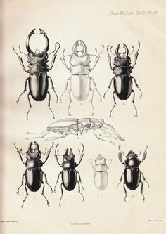 1885 Antique Plate Coleoptera , Beetle, Odontolabis alces, black and white