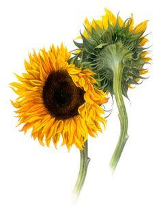 Belinda Nobel: Botanical Artist, Sunflower