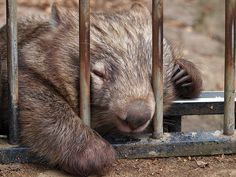 An poster sized print, approx (other products available) - Sleeping Wombat - Image supplied by Australian Views - Poster printed in the USA Common Wombat, Australian Reptile Park, Animal Body Parts, Sleeping Animals, Australia Animals, Animal Heads, Pet Portraits, Beautiful Creatures, Animales