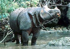 Javan Rhino – This scarce animal is one of the rhino species with fewer than 60 animals surviving in only two known locations: one in Indonesia and the other in Vietnam. Though once widespread throughout Asia, by the 1930's the rhinoceros was nearly hunted to extinction in Peninsular Malaysia, India, Burma and Sumatra. It was poached for its horn, that is believed to have medicinal uses, and driven to extinction to the intense agricultural practices.