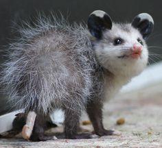 Possum et Opossum (25)