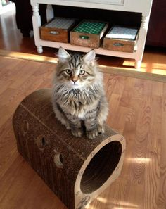 "- Happy Cats Club Member -   ""Nebulon, the Siberian kitten, King and Ruler of the Catpod!"""