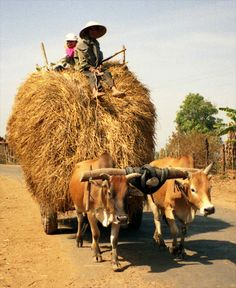 Lon&Queta - Ox cart full of hay, Central Highlands, Vietnam - Ox cart full of hay (from rice stalks); Road to Sa Thay (W of Kon Tum) Village Photography, Indian Photography, Nature Photography, We Are The World, People Around The World, Laos, Photo Background Images Hd, Photo Backgrounds, Bullock Cart