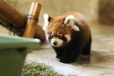 Red panda..know they aren't related to the giant panda, but still as cute
