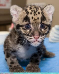 Baby Cheetah Makes Quick Getaway With My HEART...