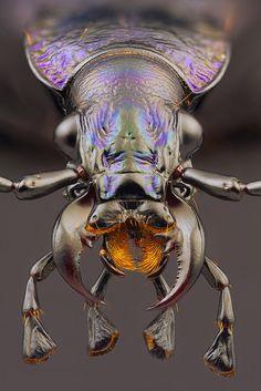 nemertea:  capcomkai:  Carabus intricatus LINNAEUS 1761 by Svatoslav Vrabec on Flickr.  Carabus are the best beetles.