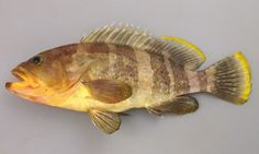 アオハタの形態写真  アオハタ(Yellow grouper, Banded grouper)