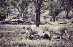 Lionnes / Serengeti / Tanzanie 2014