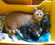 henry ginger Male cat nurtures litter of abandoned kittens