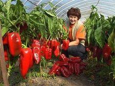 Jak si poradit s pěstováním paprik? Container Gardening Vegetables, Planting Vegetables, Fruit Garden, Vegetable Garden, Happy Fruit, Tomato Farming, Indoor Trees, Harvest Time, My Secret Garden
