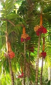 Garden Flowers - Annuals Or Perennials Polynesian Produce Stand : Orange Collar Palm Tree Colorful . Unusual Plants, Rare Plants, Exotic Plants, Cool Plants, Exotic Flowers, Beautiful Flowers, Tropical Landscaping, Tropical Garden, Tropical Plants