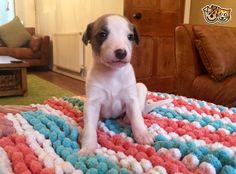 Beautiful Whippet Puppies Pontypridd Rhondda Cynon Taff