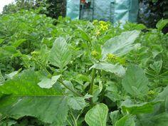 Grãos de Mostarda para Plantar