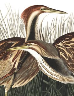 John James Audubon's Birds of America | Audubon  View, download, print his famous bird studies for free.