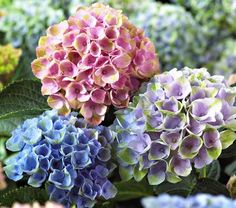 A small-scale, reblooming Hydrangea that offers a summer-long kaleidoscope of changing color!