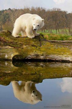 <3  Polar Bear Cub                                                                                                                                                      Mais