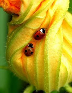 Pumpkin Flower with Lady bug