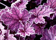 Double click on the photo for a really good source of Heuchera.