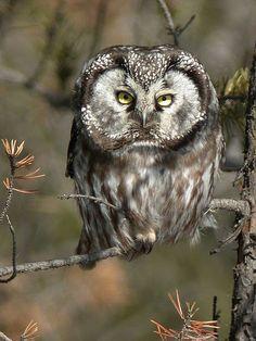 Boreal Owl.  Braddock Bay, near Rochester NY, 1979