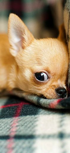 Cute Chihuahua puppy Visit our website and see our dogcollection! #puppy #chihuahua #dogs #doglovers #cute #chihuahualoved