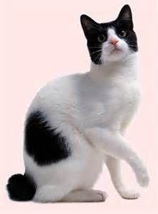 Japanese Bobtail Japanese Bobtail, Paws And Claws, Domestic Cat, Cat Breeds, Southeast Asia, Cats And Kittens, Fur Babies, Tuxedo Cats, Cute