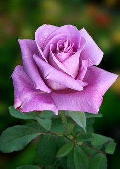 Beautiful Flowers Pictures, Beautiful Rose Flowers, Rose Pictures, Flowers Nature, Amazing Flowers, Pretty Flowers, Lavender Roses, Purple Flowers, Pink Roses