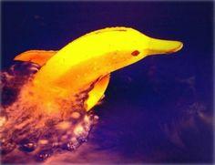 Banana dolphin;)