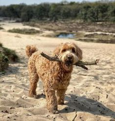 There are three widely known Labradoodle sizes: mini, medium, and standard. Which Labradoodle size is right for you? Toy Labradoodle, Labradoodles, Miniature Australian Labradoodle, Small Teddy Bears, Adoptable Beagle, Medium Sized Dogs, Labrador Retriever Dog, Bull Terrier Dog, Working Dogs