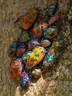 """Beetle Mania These are Hibiscus / Cotton Harlequin Bugs. Some people call them """"stink bugs."""" I call them """"fart bugs. Cool Insects, Bugs And Insects, Weird Insects, Beautiful Creatures, Animals Beautiful, Cute Animals, Les Reptiles, Stink Bugs, Cool Bugs"""