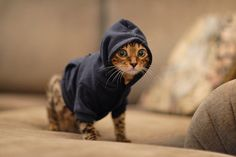 kitty in a  hoodie