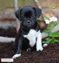 A jug puppy Kittens And Puppies, Cute Dogs And Puppies, Baby Puppies, Funny Puppies, Small Puppies, Puppy Care, Pet Puppy, Pet Dogs, Doggies