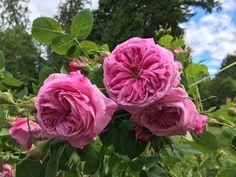 Old mystery rose chloe dug up