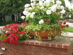 Roses in a container with dwarf English Ivy and Red Ivy Geranium.  So beautiful!