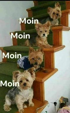 Things we admire about the Brave Yorkshire Terrier Dog Yorky Terrier, Yorshire Terrier, Bull Terriers, Yorkies, Yorkie Puppy, Teacup Yorkie, Chien Yorkshire Terrier, Yorkshire Dog, Cute Puppies