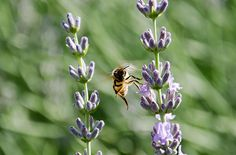 We need bees! Plant these to attract them.