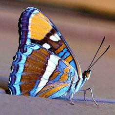 Butterfly Spirit Animal, Butterfly Kisses, Beautiful Creatures, Animals Beautiful, Cute Animals, Butterfly Crafts, Butterfly Flowers, Beautiful Bugs, Beautiful Butterflies
