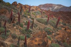 Echium wildpretii plants, a species of flowering plant endemic to the island of Tenerife, in the National Park of the Teide. Also known as Red bugloss, the biennial plant grows up to three metres in height. Photograph: Desiree Martin/AFP/Getty Images