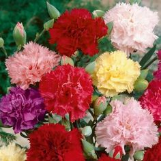 """Carnation Seeds - """"Chabaud Mix""""Carnations are one of the most popular flowers of all time, and no garden is complete without a flowerbed that is aglow with the Carnation """"Chabaud Mix."""" Your Chabaud Mix Carnation seeds will flower into 2 foot tall beauties with violet, red, pink, purple, yellow and orange blooms! This rainbow mix also grows well in planters, rock gardens and borders. When Mother's Day comes, give your mom the ultimate bouquet-- Chabaud Mix Carnation flowers that gre..."""