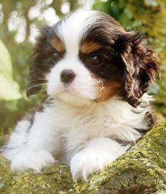 Sweet Black Tri Cavalier puppy <3