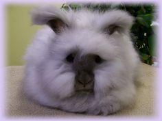 English Angora rabbit: pearl lilac
