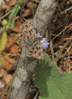 An insight into the lives of Butterflies: Mallow Skipper