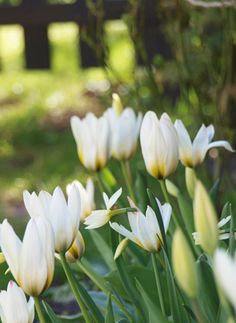 White Tulips in the spring