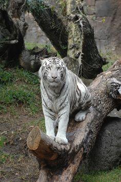 Tigre Blanco Ankur    White tiger Ankur