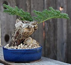 Pelargonium antidysentericum | Pelargoner | Pinterest ...