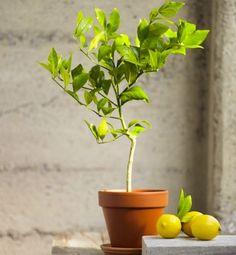 Organic Meyer Lemon Topiary via Gardenista Indoor Garden, Indoor Plants, Balcony Plants, Small Plants, Indoor Lemon Tree, Lemon Tree Potted, Growing Lemon Trees, Growing Herbs, Lemon Plant