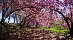 Cherry Blossom Festival in Macon, Georgia. Check out all of our travel opportunities at http://parallonjobs.com/jobsearch.php!
