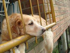 Golden Retriever chillin' in balcony